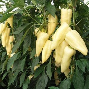 Portal Cool Hungarian Heirloom!!! Syn. Cecei Sweet Pepper 10+ Seeds